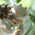 Bacterial Spot Fruit Symptoms