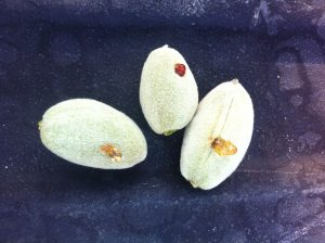 Bacterial Spot of Almond 1