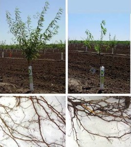 Figure 2: Roots of a healthy, fumigated tree (left) compared to the roots of a RD-affected tree (right).Lack of fine feeder root development leads to stunted growth of young trees.