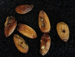 Figure 2: Close up of gummy kernels submitted to the UCCE Merced Office. The kernel on the right has symptoms that appears to be leaf footed plant bug.