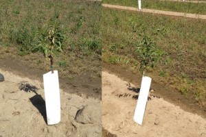 Variability in tree growth due to issues at planting.
