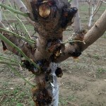 Boron toxicity of a young almond tree. Photo by Franz Niederholzer