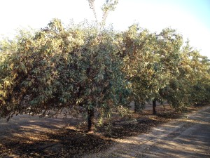 Leaf drop observed in the almond variety 'Monterey.' Senescence and drop is most likely due to water stress. Photo courtesy of James Nichols.