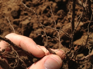 Rootknot Nematode on roots (Photo: David Doll)