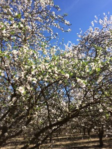 Almond trees pushing leaves at bloom indicates that something affected fruit bud development in previous years. Photo courtesy of Ryan Doglione.