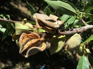 Hull rot of almond causes spur and limb dieback, potentially reducing future crops.