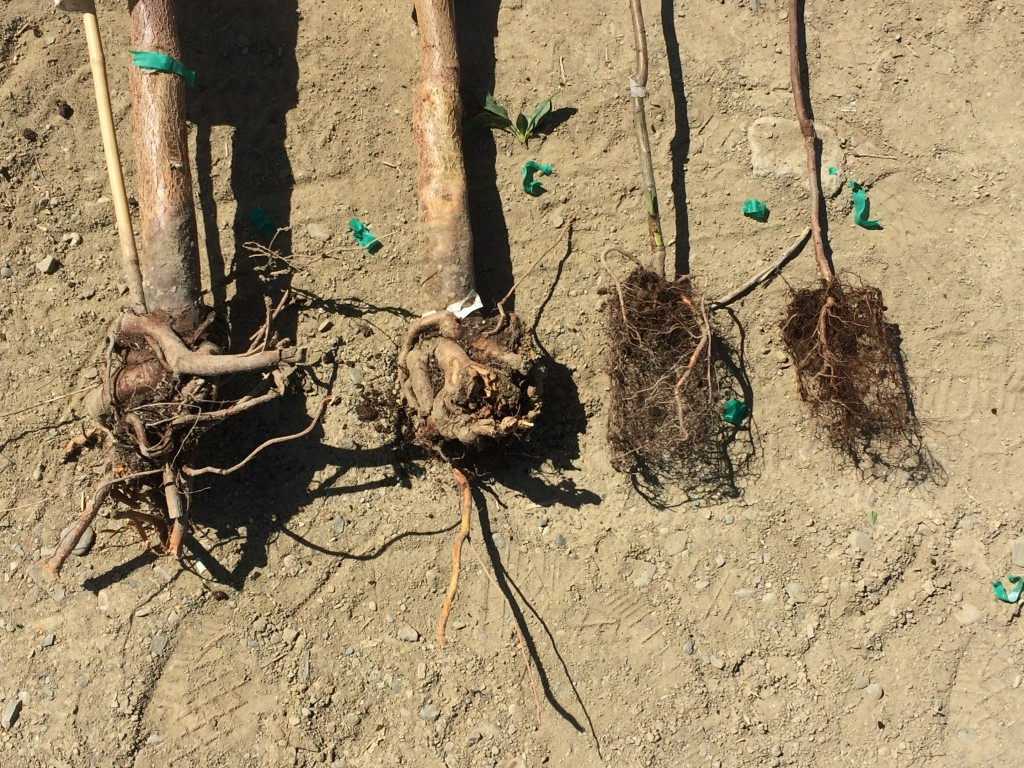 Several one year old trees with severe root girdling. The younger potted tree second from the right has roots that are already kinked and growing upwards, and may be too old for planting. The tree on the left appears to have a healthy root system.