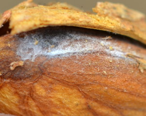 Fig. 1 The white mycelial growth found on the almond kernel is Rhizopus stolonifer, the hull rot pathogen. Image courtesy of Devin Carroll