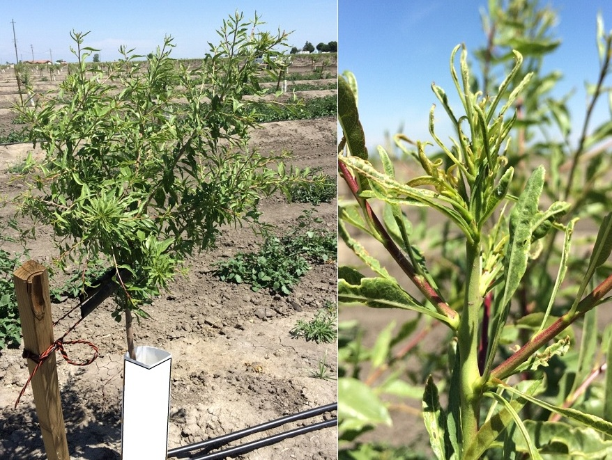 Planning and planting a new almond orchard the almond doctor for Soil zinc deficiency