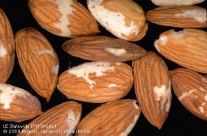 Shallow grooves in almond kernels caused by Peach twig borer.