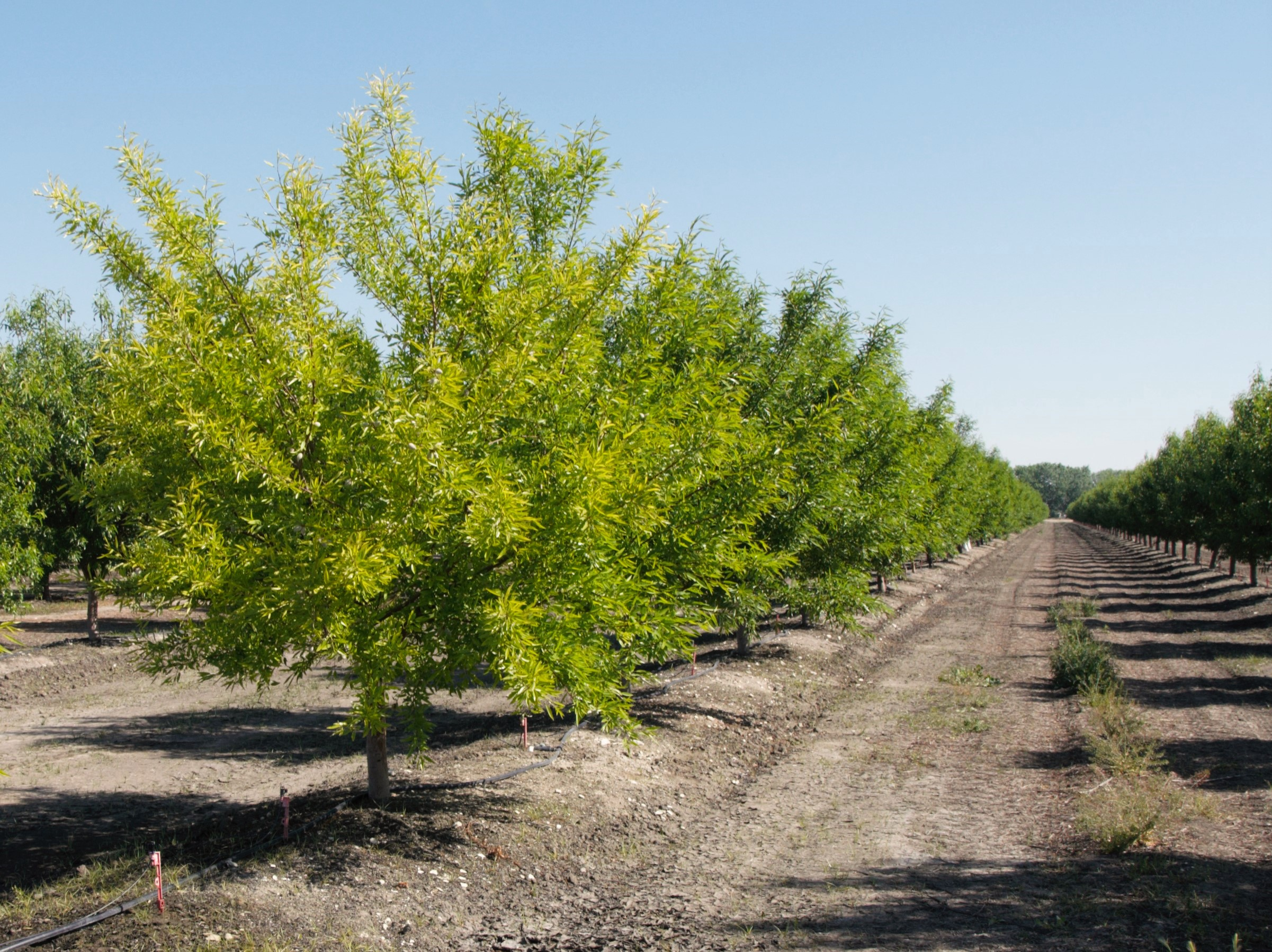 Yellow Trees And Saturated Soils The Almond Doctor