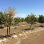 Symptoms of Verticillium wilt in almond.