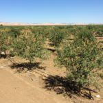 Verticillium affecting a large number of 2nd leaf almond trees.