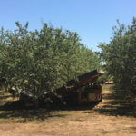 Catch frame shaker in a mature almond orchard
