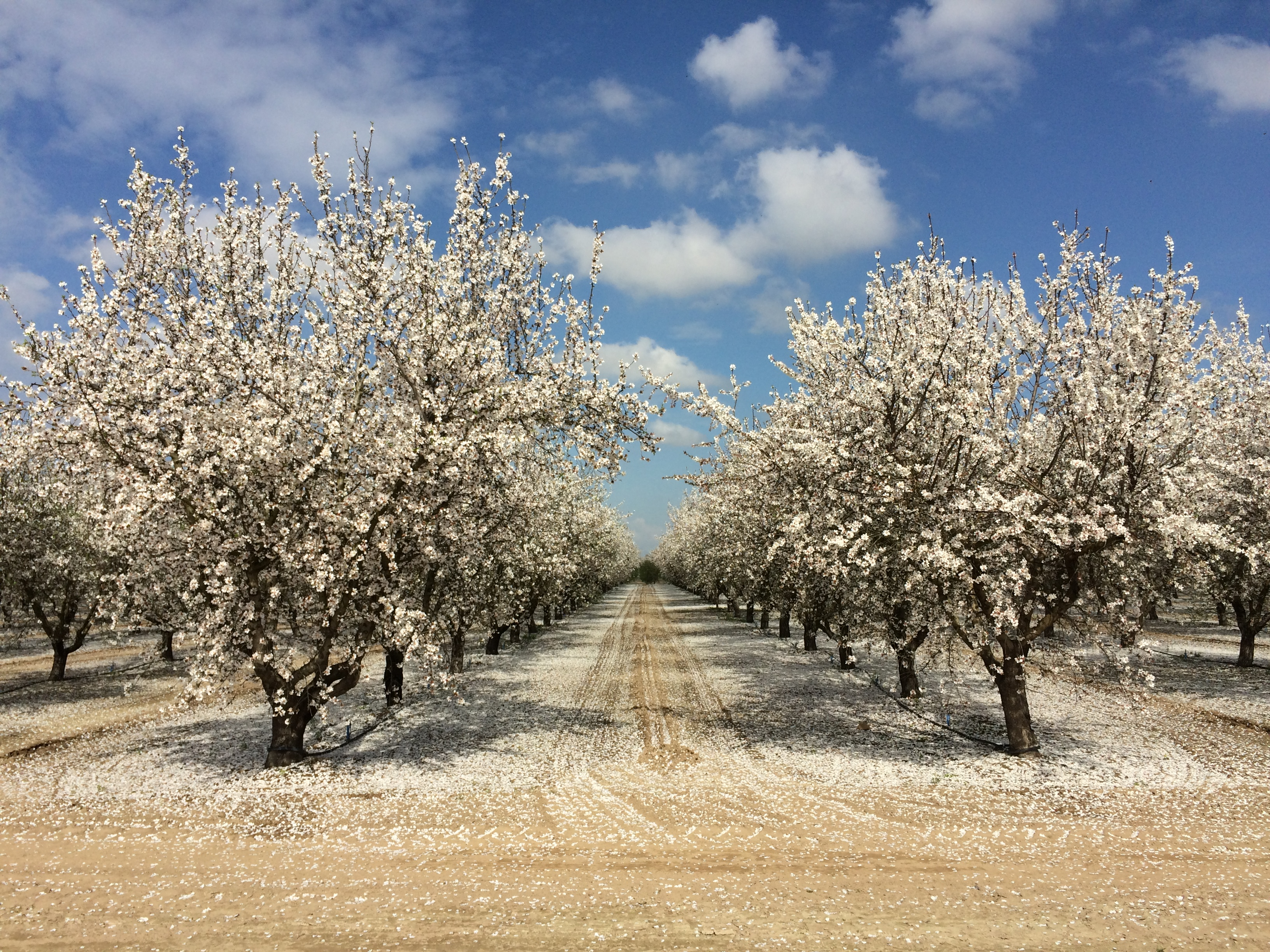 Orchard row widths should be wide enough to provide equipment access but close enough to maximize & Almond Orchard Row Width - The Almond Doctor