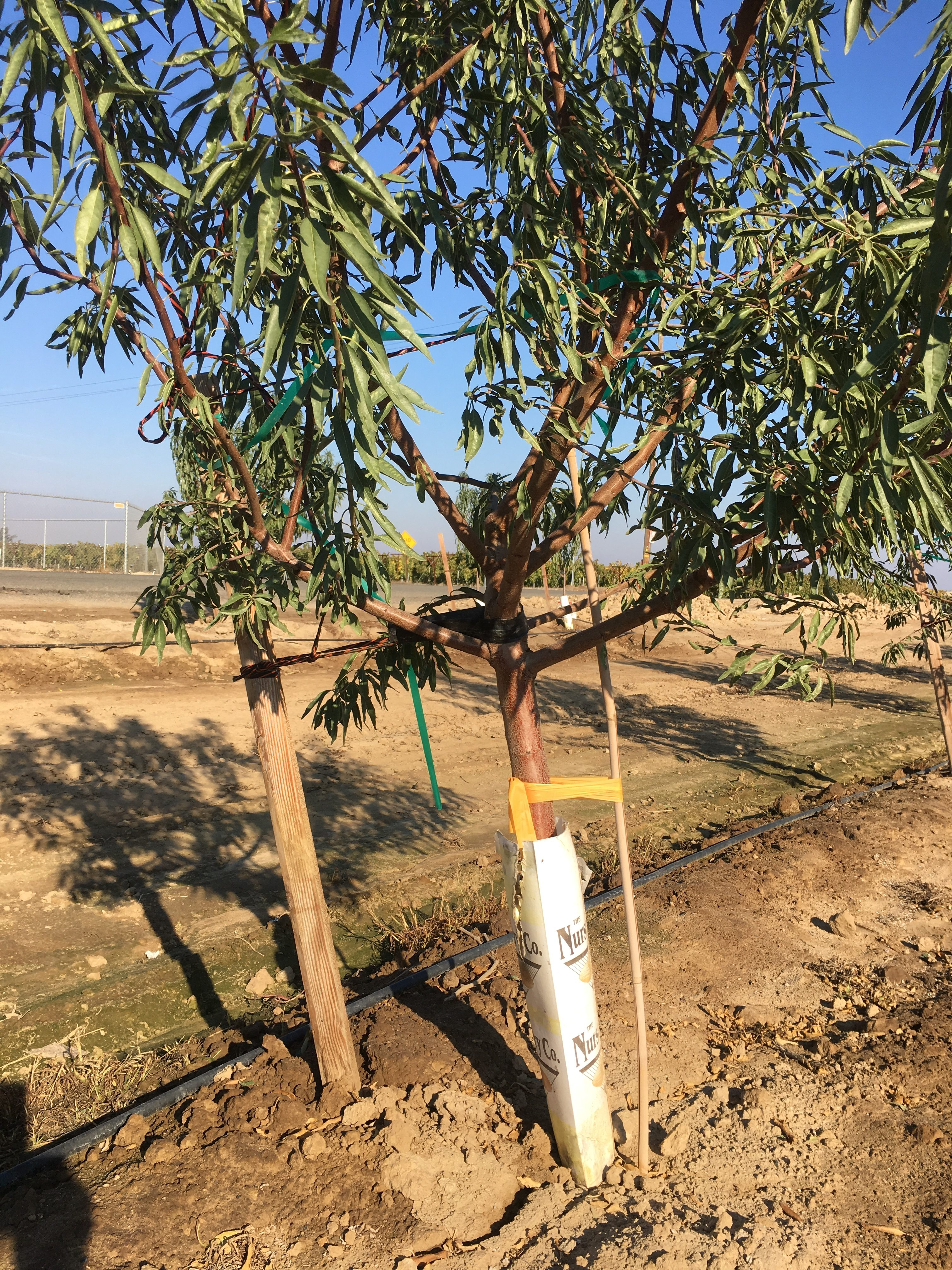 Pruning Almond Trees The Almond Doctor