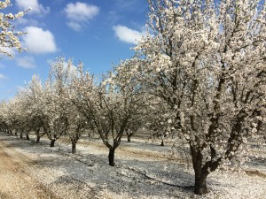 Almond trees in bloom.